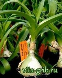 Купити індійський лук - цілющі властивості, вирощування, рецепти оздоровлення, фото