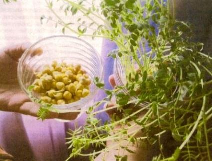 Нут - корисний овоч - сади сибіру