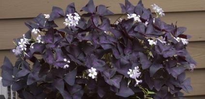 Кислиця - який догляд потрібен квітці оксаліс в домашніх умовах (дивіться фото і відео)