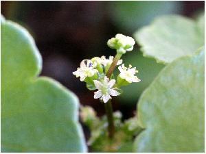Акваріумні рослини, утрікулярія, Хемиантус куба, Хемиантус
