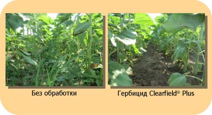 Clearfield plus - сама інноваційна технологія вирощування соняшнику