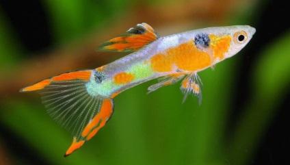 7 Важливих порад з утримання та розведення в акваріумі живонароджених