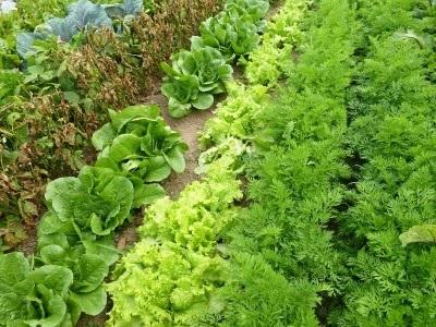 Saláta a kertben otthon, egyre paradicsom a nyaraló