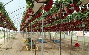 Как выращивание клубники в теплицах 524