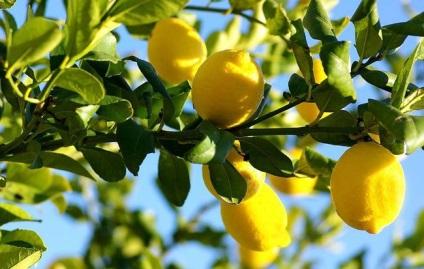 Tisztítás hajók fokhagyma és citrom - értékelések Orvosi