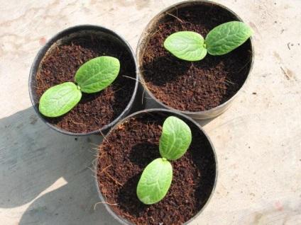 Як і коли садити насіння кабачків у відкритий грунт