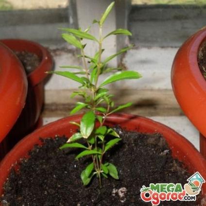 Выращивание кизила из косточки в домашних условиях 78