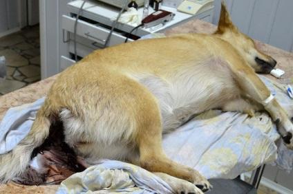 Умирает собака понос