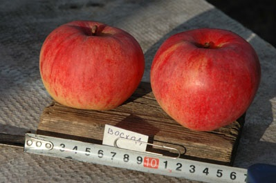 Сорта яблок подарок графскому 94