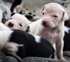 Dalmát kutya fajta leírás, fotók, árak kölykök vélemények