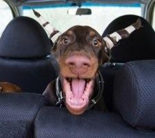 Kutya doberman fajta leírás, fotók, az ár a kölykök, vélemények