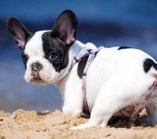 Francia bulldog kutyafajta leírás, fotók, az ár a kölykök, vélemények