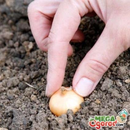 Когда сажать чернушку на севок в открытый грунт 78