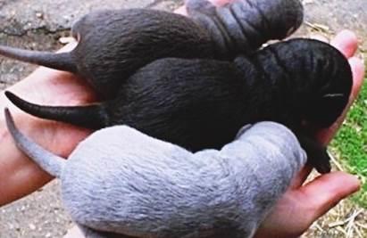 Tenyésztési sable - a fogvatartási körülmények, képek és videó