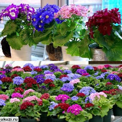 Комнатные цветы цинерария выращивание и уход фото 80