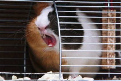 Почему морская свинка чихает
