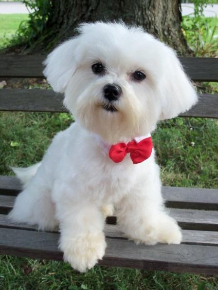 Собака болонка белая