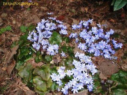 Hepatica ültetés és gondozás, típusai