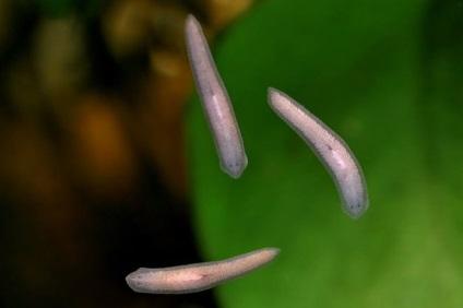 Fehér planária és az emberi körféreg Platyhelminthes fasciola