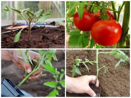 Когда сажают помидоры в сибири 699