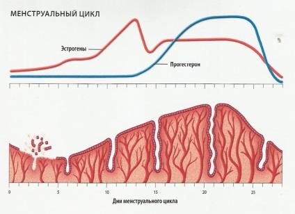 Hogyan ovuláció tart