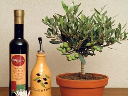Як виростити оливкове дерево з кісточки в домашніх умовах