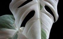 Монстера догляд в домашніх умовах за квіткою - пересадка, обрізка і розмноження