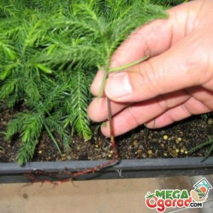 Araucaria - termesztési feltételek és ápolási otthon