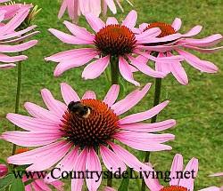 Echinacea, Echinacea purpurea, virág