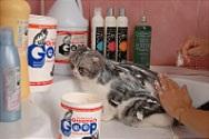 Грумінг шотландських висловухих кішок