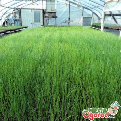 Бизнес на выращивании петрушки и укропа 20