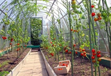 Выращиваем томаты в теплицах из поликарбоната