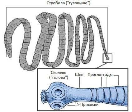 széles galandféregszerkezet)