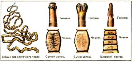 férgek amelyek emberben élnek)