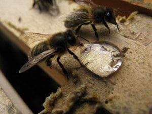 Hogyan kell elkészíteni a cukorszirupot etetni a méheket - nő s nap