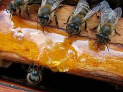 Főzni a cukorszirupot aránya a méhek