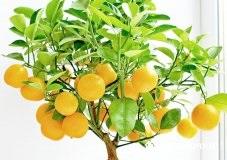 Як виростити мандарин з кісточки в домашніх умовах - Селяночка - портал для фермерів, сільське