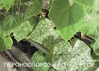 uborka betegségek paraziták)