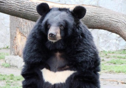 medve epe magas vérnyomásban)