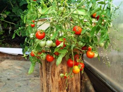 Зимнее выращивание томатов 94