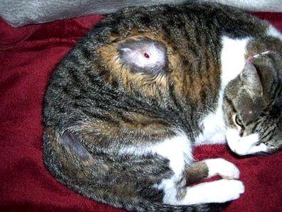 rüh kezelés macskáknál)