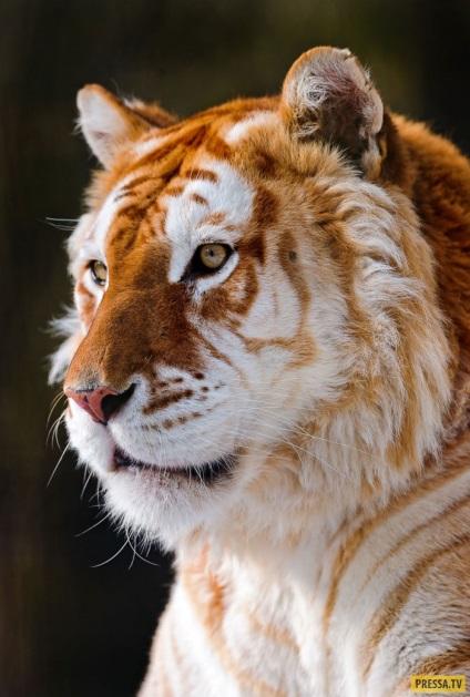 Rare colored tigers