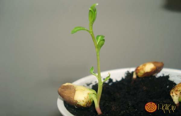 Выращивание фисташка счастливый орех из семян 71