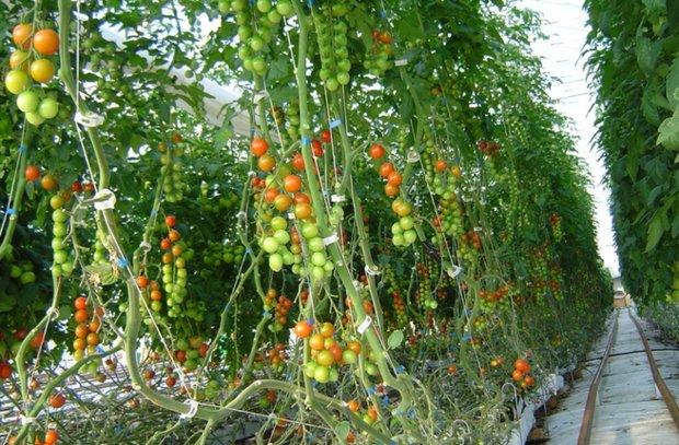 Выращивание томатов черри в теплицах 42