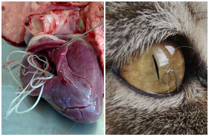 szívféreg tünetei