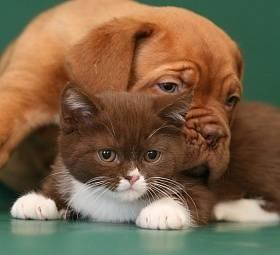 Dogue de Bordeaux - képek, fajta leírás, tippeket választotta egy kiskutya, táplálás, gondozás, a képzés