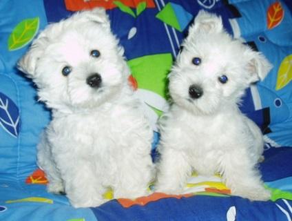 Mintegy kutyák West Highland White Terrier