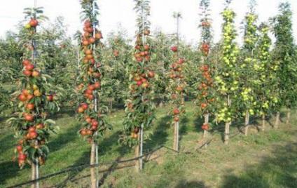 Oszlopos almafa metszése