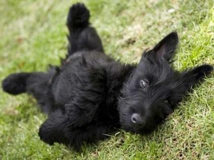 Skót terrier fotó és a fajta leírását, jellemzőit és gondozás