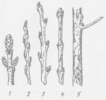 Стебло - вегетативні органи вищих рослин - органи вищих рослин - рослини - біологія,